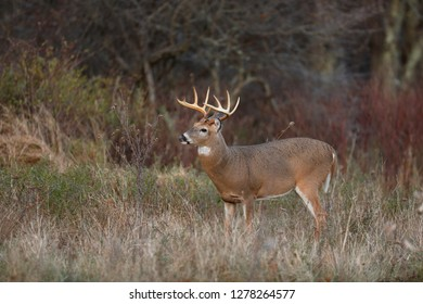 A White-tailed Deer buck in a meadow