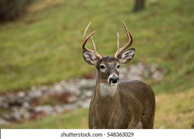 White-tailed deer buck in an open meadow in Jefferson Barracks National Cemetery in St. Louis, Missouri