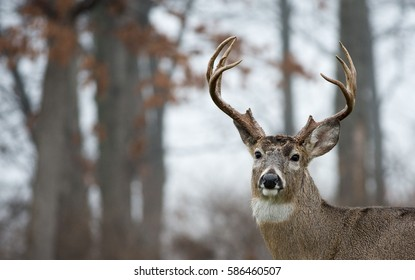 White-tailed deer buck in an open meadow in Jefferson Barracks National Cemetery in St. Louis, Missouri
