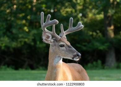 White-tailed deer buck portrait with velvet on antlers in summer