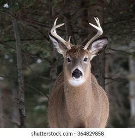 White-tailed Deer Buck Portrait in Winter