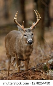 A White-tailed Deer buck in the rain