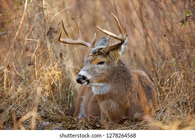 A White-tailed Deer buck at rest