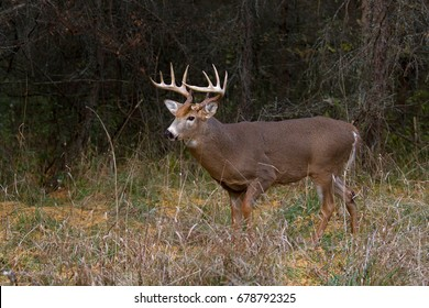 White-tailed deer buck in rut in the forest in Canada