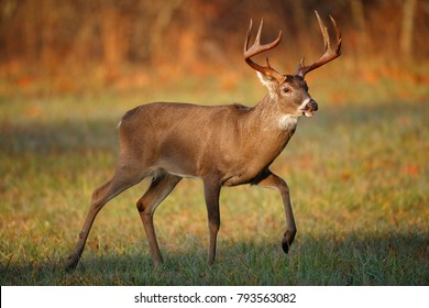 A white-tailed deer buck in the Smoky Mountains of Tennessee.