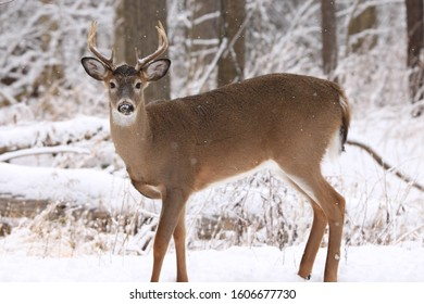 White-tailed deer buck in the snow on a winter's day in Canada.