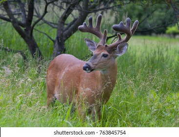 066d4f805 White-tailed deer buck with velvet antlers standing on alert in a meadow in  the