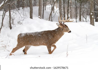 White-tailed deer buck walking in the falling snow in Canada