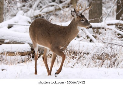 White-tailed deer buck walking on snow in Canada.