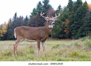 White-tailed deer buck walking through the meadow during the rut in autumn in Canada