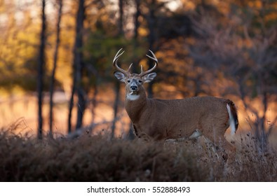 White-tailed deer buck walking through the meadow during the autumn rut in Canada