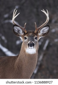 White-tailed deer buck in the winter snow in Canada