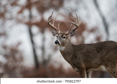 White-tailed deer buck in the woods near Jefferson Barracks National Cemetery, St. Louis