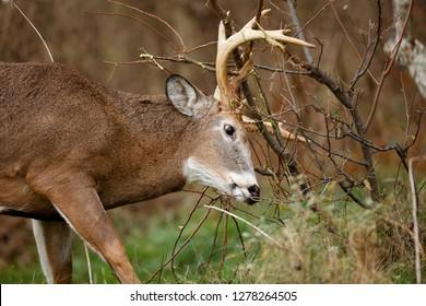 A White-tailed Deer buck working a scrape