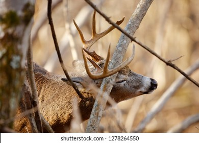 A White-tailed Deer buck working a scrape