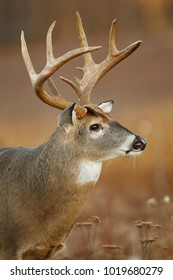 A white-tailed deer up close