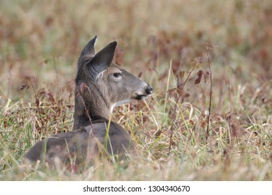 White-tailed deer doe bedded down in a field in Smoky Mountain National Park