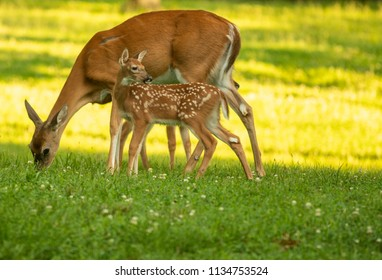 White-tailed deer doe and its fawn in an open meadow in summer
