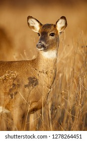 A white-tailed deer doe in a meadow lit by the morning sun