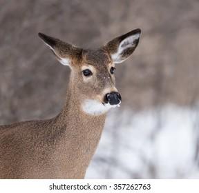 White-tailed Deer Doe Portrait Closeup in Winter