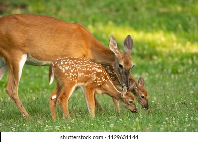 A white-tailed deer doe and its two fawns in an open meadow in summer