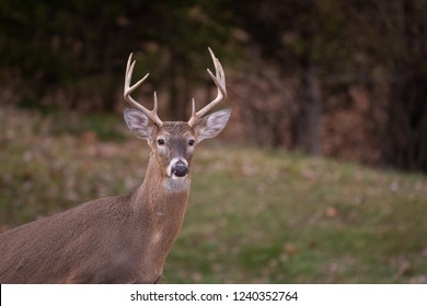 white-tailed deer eight-point buck in a meadow in fall.