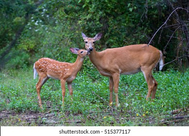 White-tailed deer fawn and doe share a tender moment in the forest in Canada