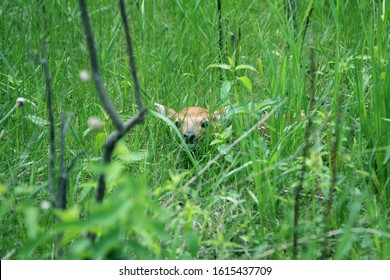 White-tailed deer fawn hides in the grass to avoid detection.