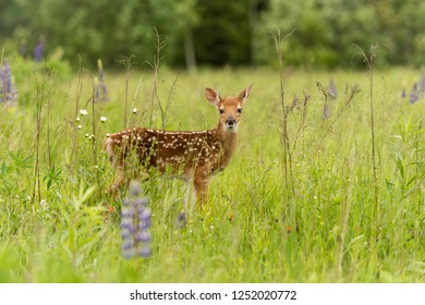 White-Tailed Deer Fawn (Odocoileus virginianus) Looks Out From Field - captive animal