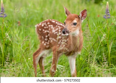 White-Tailed Deer Fawn (Odocoileus virginianus) Stands in Grasses - captive animal