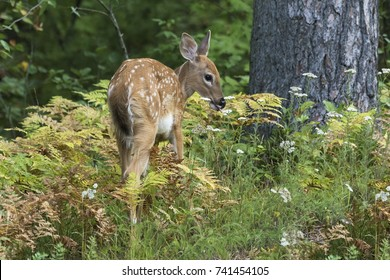 A White-tailed Deer fawn (Odocoileus virginianus) browses on the forest understory in summer - Ontario, Canada