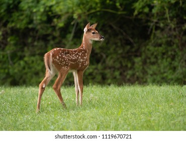 A white-tailed deer fawn with spots  in a meadow in summer.