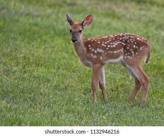 A white-tailed deer fawn with spots playing  in a meadow in summer.