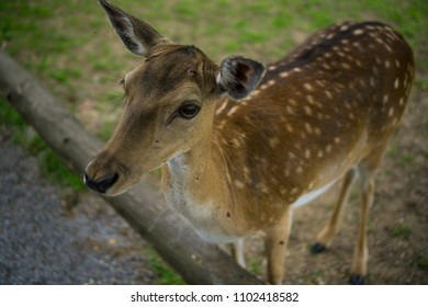 A white-tailed deer fawn standing in a meadow, Bambi concept, wild nature, selective focus.