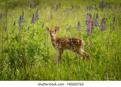 White-Tailed Deer Fawn Stands in Field captive animal