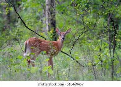 White-tailed deer fawn walking in the dark forest in Canada