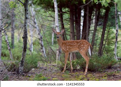White-tailed deer fawn walking through the forest in Ottawa, Canada