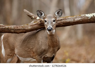 A white-tailed deer in the forest