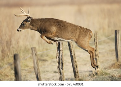 A white-tailed deer jumping over a fence
