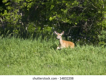 White-tailed deer, also known as Virginia deer, moving through thick and tall grasses
