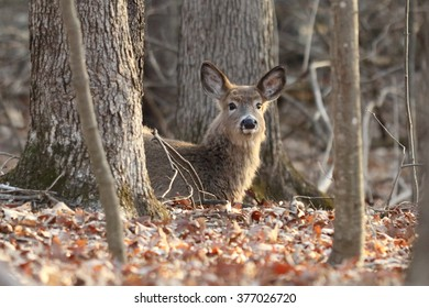 White-tailed Deer Laying Down in Fallen Leaves