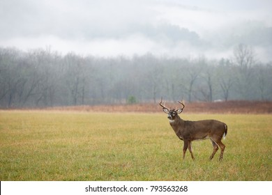 A white-tailed deer in a meadow