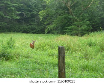 a white-tailed deer in a meadow; Cades Cove, Great Smoky Mountains National Park, TN, USA