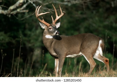 Royalty Free 8 Point Buck Images Stock Photos Vectors Shutterstock