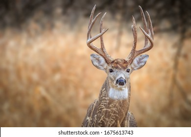 White-tailed Deer (Odocoileus virginianus), buck, in a winter forest in Oklahoma City