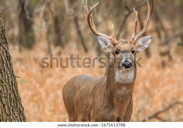 A White-tailed deer (Odocoileus virginianus) buck in the forest at Martin Nature Park in Oklahoma City