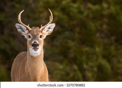 White-tailed Deer - Odocoileus virginianus, portrait of a young buck in the early morning sun.  Direct eye contanct.  Open mouth like a smiling face.