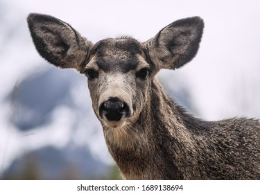 White-tailed deer (Odocoileus virginianus) portrait in spring time, Canada