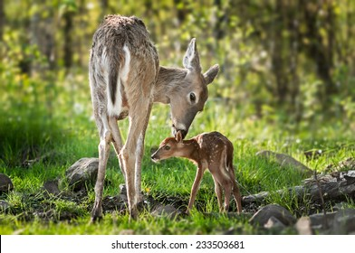 White-Tailed Deer (Odocoileus virginianus) Sniffs Behind Fawn's Ears - captive animals
