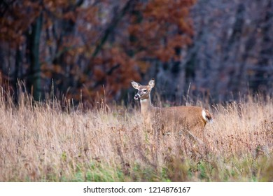 White-tailed deer  (odocoileus virginianus) with tounge sticking out.